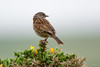 Dunncok (Shane Jones) Tags: dunnock hedgesparrow bird gardenbird songbird wildlife nature nikon d500 200400vr tc14eii