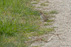 20170509-IMG_3038 (tdg734) Tags: abalist birds emberizids harborisland larksparrow michigan ottawacounty unitedstates