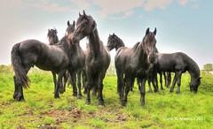 Horses ,Groningen,the Netherlands,Europe (Aheroy) Tags: horses paarden aheroy aheroyal groningen animals compo composition pferden caballos kudde groep herd cheveaux hengsten stallions equuscaballus manada herde