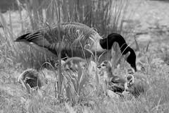 Happy Mother's Day & HSS! (karma (Karen)) Tags: parkschool pikesville maryland ponds canadageese goslings monochrome bw sliderssunday hss cmwd