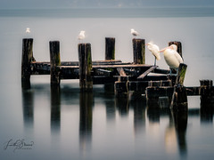 Smooth Reflections (Laith Stevens Photography) Tags: reflections relaxing rundown birds olympus omd olympusinspired omdem1 outdoor olympusomd olympusau getolympus longexposure landscape centralcoast cool smoothwater jetty peir 40150mmf28pro nsw ngc visitnsw visitcentralcoast