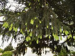 New growth (MissyPenny) Tags: tree pennsylvania usa bristolpennsylvania spring southeasternpa