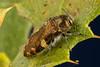 Acmaeodera coquilletti - on scrub oak (Quercus berberidifolia) (aliceinwl1) Tags: acmaeodera acmaeoderacoquilletti acmaeoderini arthropod arthropoda buprestidae buprestoidea ca california clearcreek clearcreekmanagementarea coleoptera insect insecta metallicwoodboringbeetle polycestinae polyphaga sanbenitocounty serieselateriformia beetle coquilletti locpublic viseveryone