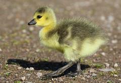 Canada Goose Chick Branta canadensis 009-1 (cwoodend..........Thanks) Tags: 2017 wildlife warwickshirewildlifetrust warwickshire brandonmarsh brandon naturereserve nature canadagoose brantacanadensis chick