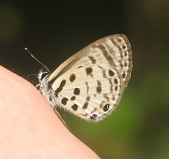 Azanus mirza lycaenidae (BSCG (Badenoch and Strathspey Conservation Group)) Tags: africa afrique butterfly lb lep