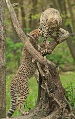 cheetah burgerszoo BB2A7023 (j.a.kok) Tags: cheetah jachtluipaard afrika africa cat kat predator acinonyxjubatus acinonyxjubates burgerszoo mammal zoogdier dier animal