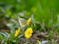 Above the spring field 3 (keiko*has) Tags: springfield butterfly dandelion weeds 東古屋湖 栃木県 日本 野原 春 蝶々