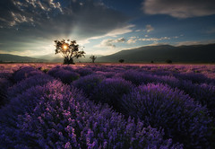 Lavender in Bulgaria (Krasi St Matarov) Tags: landscape lavender bulgaria tree travel field clouds sunset workshop outdoor nikon phototour adventure gold flower sky light