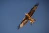 Red kite overhead (stevehimages) Tags: steve higgins steveh wales grandpas den grandpasden 2017 warden wowzers elan valley bird nature wildlife