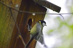 Kohlmeise - parus major (krueesch) Tags: vogel vögel birds bird singvogel singvögel naturschutzgebiet dietikon kohlmeisen meisen kohlmeise parus major