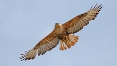 The Hunter (keynowski) Tags: kızılşahin buteorufinus longleggedbuzzard animalplanet animal bird birdofprey nature ngc canon70d canonef400mmf56lusm