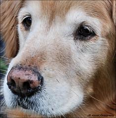 """ Through the Eyes of a Golden "" (John Neziol) Tags: jrneziolphotography goldenretriever fieldretriever interestingdogposes pointynoseddogs portrait dog dognose animal outdoor brantford nikon nikoncamera nikondslr old golden gentle angelic"