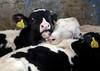 pawu015 (Otwarte Klatki) Tags: krowa krowy mleko zwierzęta cielak ferma andrzej skowron