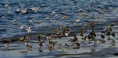 Touchdown Sanderlings--in explore (beachpeepsrus) Tags: birds beach shore shorefront alamitosbay longbeachcalifornia longbeachgranprix