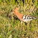 Huppe faciée (Ferdinand23) Tags: huppefasciée martinspêcheurshuppes oiseaux