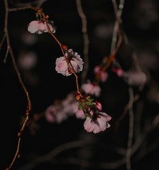 Sorrow (smilla4) Tags: sorrow night manchester raindrops waterdrops cherryblossoms spring flower bokeh maine