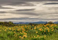 Tom McCall Nature Preserve (Jan Crites) Tags: oregon rowenaoregon tommccallnaturepreserve landscape wildflowers arrowleafbalsamroot columbiarivergorge hoodriver jancritesphotography nature hiking