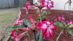 Desert Roses (Michel Curi) Tags: flowers flowerscolours flowerscolors roses desertrose pink plants landscape nature garden leaves mulch bokeh scenery flowercolours flowercolors blossom flower