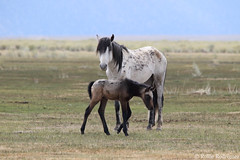Papa With Foal, Wild Horses, Adobe Valley, California (rollie rodriguez) Tags: wildhorses adobevalley california