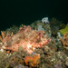 In my garden - Red scorpionfish - Scorpaena jacksoniensis #marinexplorer