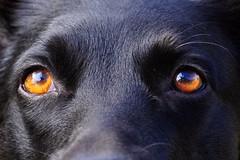 the Eyes of Love (holly hop) Tags: macromonday animal australiankelpie blackdog closeup dog eyes kelpie macro pet bella 3inches love sedge808sfaves