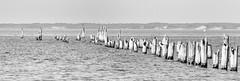 A Hierarchy of Pillars (Keith Midson) Tags: bridport bird birds pier jetty oldpier tasmania coast coastline coastal sea water cormorant cormorants outside landscape