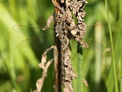 Springtime Darner (Basiaeschna janata) Female (Rezamink) Tags: basiaeschnajanata springtimedarner dragonflies odonata usa