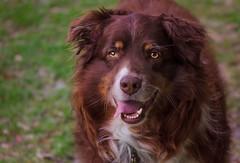 05.10.17 - Vet check (CarmenSisson) Tags: aussie australianshepherd cowboy animal canine dog outside pet play redtri