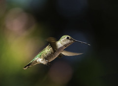 Hummer Headed For The Feeder (Bill Gracey 15 Million Views) Tags: hummer hummingbird hummingbirdphotography calypteanna nature bif birdinflight color colorful bokeh