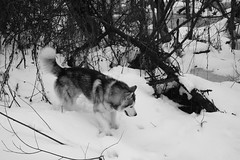 _DSC0856 (Oleg Green (lost)) Tags: spring snow province town voigtlander ultron husky dog notedit raw bw monochrome