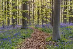 *Hallerbos II* (albert.wirtz) Tags: albertwirtz hallerbos belgien belgium spring frühling hasenglöckchen hyazinthen wildehyazinthen bluebells wildbluebells wald forest enchantedforest zauberwald buchen buchenwald beechforest beeches blue deepblue purple benelux brüssel brussels hyacints hyacinths meditation harebells wallonischbrabant wauthierbraine gegenlicht backlight green grün