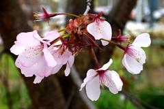 Edwards Gardens, Toronto, ON (Snuffy) Tags: flowers cherryblossoms edwardsgardens torontobotanicalgarden toronto ontario canada northyork donmills spring seasons