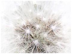 Make a wish ❤️ (**Karin**) Tags: löwenzahn dandelion makeawish wünschdiretwas wish