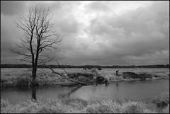 happy cows (Marta Wojtkowska) Tags: digital monochrome bw blackandwhite animals cows river water field tree clouds samsung nx10 samsungnx10