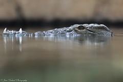 Crocodile (Jaco Verheul) Tags: blijdorp d7100 jaco nikon rotterdam verheul dierentuin zuidholland nederland crocodile krokodil animal dier beast zoo fierce creature croc reptile