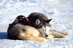 Siberian Husky (alessiabraghieri93) Tags: animals photography nikon55300 d5100 nikond5100 winter italy sestriere snow snowdogs pet dogs husky sleddog siberianhusky