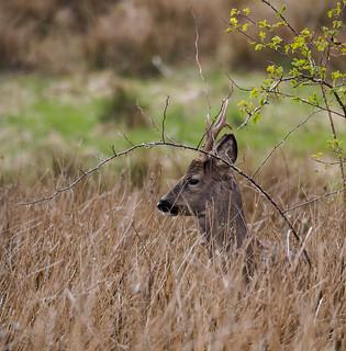 Roe deer buck 2-