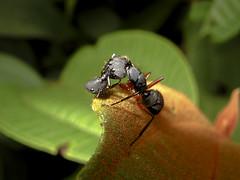 Ants of Honor (leo.vcastro) Tags: ant black blackant formiga preta formigapreta luta fight briga gerra war batalha batle head cabeça morte death canon powershot a480 honor honra