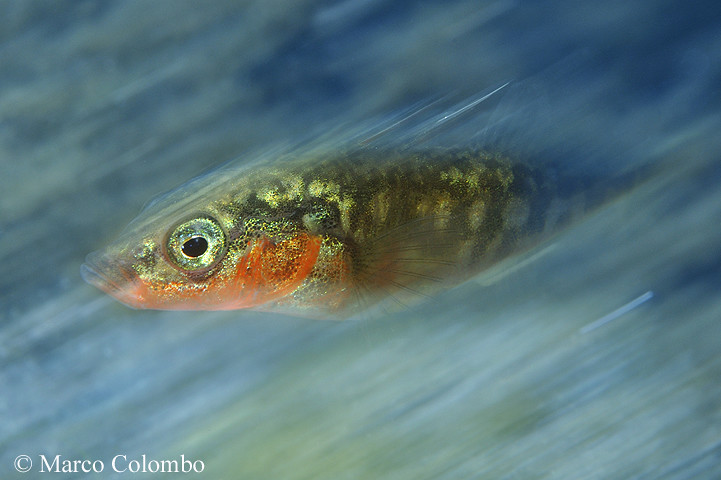 The World 39 S Best Photos Of Fish And Stickleback Flickr