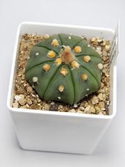 Astrophytum asterias var. nudum (emilmorozoff) Tags: astrophytum asterias nudum