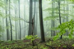 Rain in May - explore (Rita Eberle-Wessner) Tags: wald forest wood trees tree baum bäume grün green nebel fog regen rain may mai frühling buchen odenwald