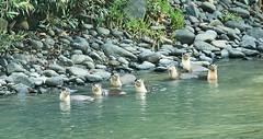 BO1_7320 (lucvanderbiest) Tags: riverotter rivierotter borneo maleisië sabah danumvalleywildlifereserve