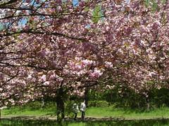 Hanami (gerlindes) Tags: teltow potsdammittelmark landkreisteltowfläming kirschblütenfest japanischeskirschblütenfest hanami kirschbäume zierkirschen kirschblüteninvollerpracht blüte baum baumblüte