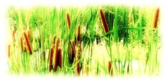 cattails (milomingo) Tags: nature plant grass cattail marsh green yellow brown a~i~a softfocus multiple cylindrical outdoor organic botanical abq abqbiopark albuquerque newmexico garden southwest contrast photoborder glow photoart grain texture cmwd cmwdgreen visualpoetic earthnaturelife healinglightofthespirit