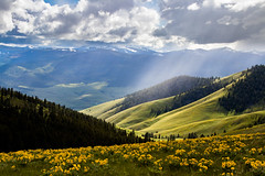 The Hills Are Alive (ebhenders) Tags: national bison range montana arrowleaf balsam root flowers bloom light rain hillside bitterroot mountains