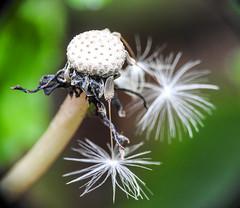 Dandelion seed hanging on.  Day 135 / 365 (Wayne~Chadwick) Tags: raynox dcr150