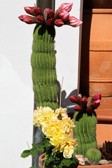 IMG_5634 (mauro muscas) Tags: fiore cactacee succulente trichocereus schickendantzii