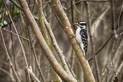 The Sweet Spot (flashfix) Tags: april172017 2017inphotos ottawa ontario canada canon canoneos5dmarkii 5dmarkii 100mm400mm nature mothernature merbleueconservationarea spring woodpecker downy hairy animal bird birdphotography