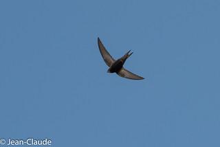 Apus apus - Common Swift