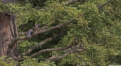 Kārearea 109 (Black Stallion Photography) Tags: juvenile female adult male mantling newzealand falcon karearea brown feathers open wing bird wildlife prey perch branch green foliage black stallion photography igallopfree